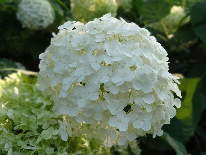White Hydrangea Blossoms - Rice Photography