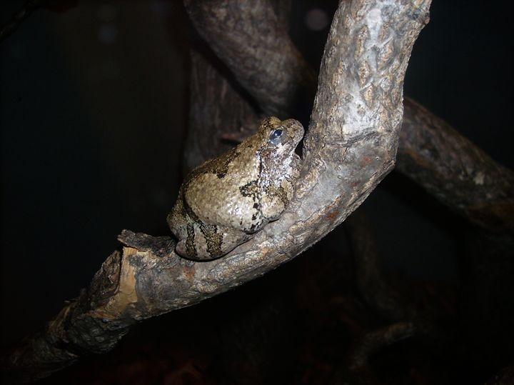 Frog/Toad on Tree Branch - Rice Photography