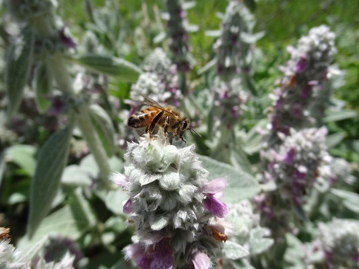 Honeybee on Lambs Ear Flower - Rice Photography