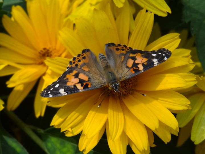 Painted Lady Butterfly on Flower - Rice Photography