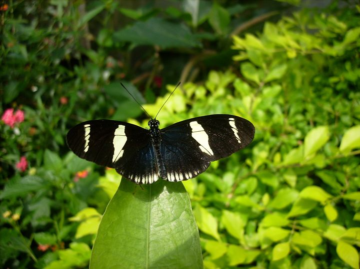 Black and White Butterfly on Leaf - Rice Photography