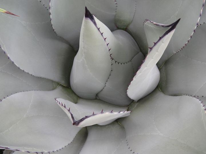 Aloe Plant Close-Up - Rice Photography