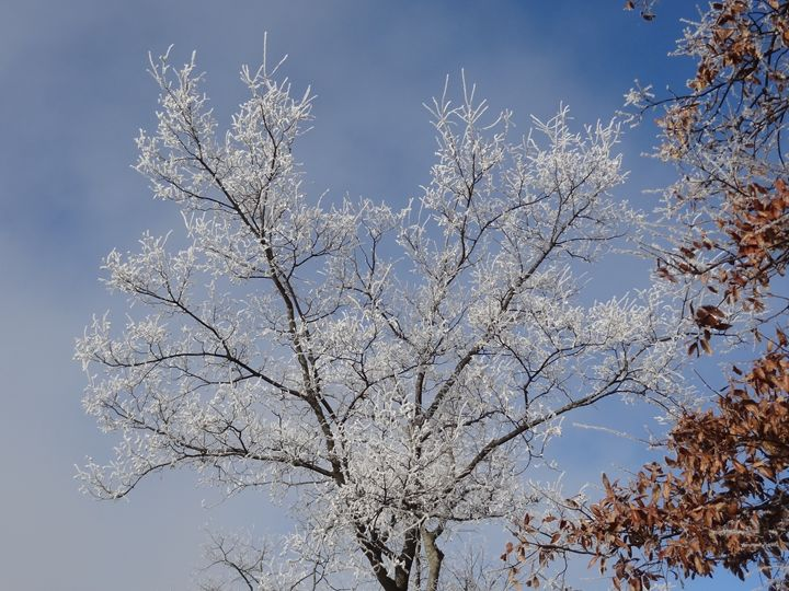 Frost Tree 2 - Rice Photography