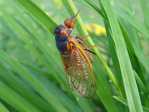 Cicada in Daylilly Leaves - Rice Photography