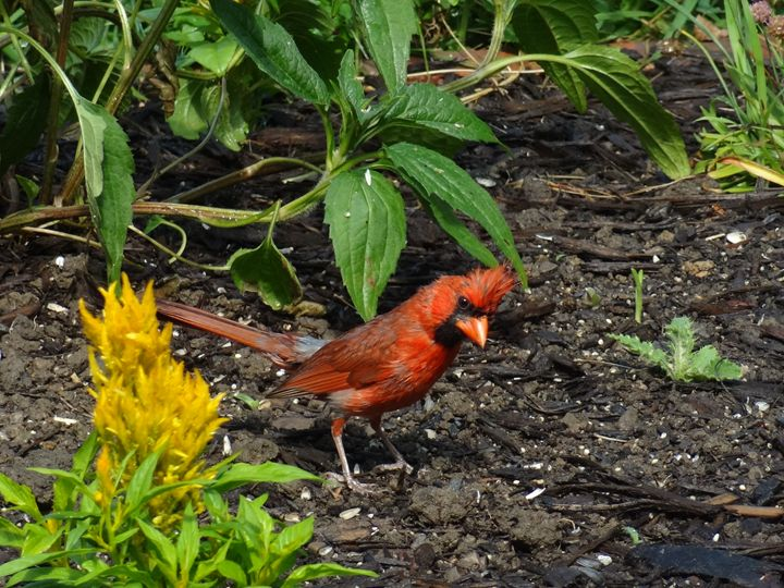 Male Cardinal in a Garden - Rice Photography