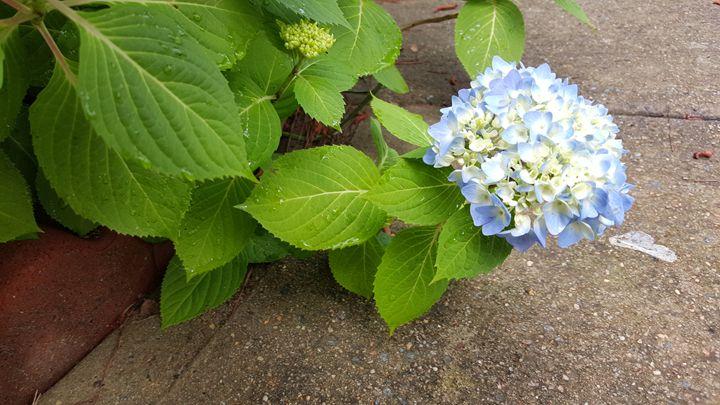 Hydrangea in blue - Paula Ray
