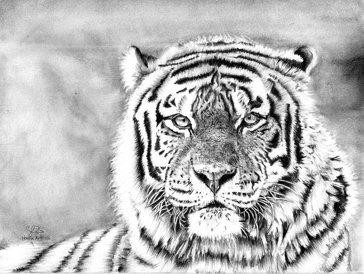 Tiger pencil drawing - Realistic pencil drawings