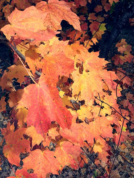Fall Leaves - Kortenay's Gallery