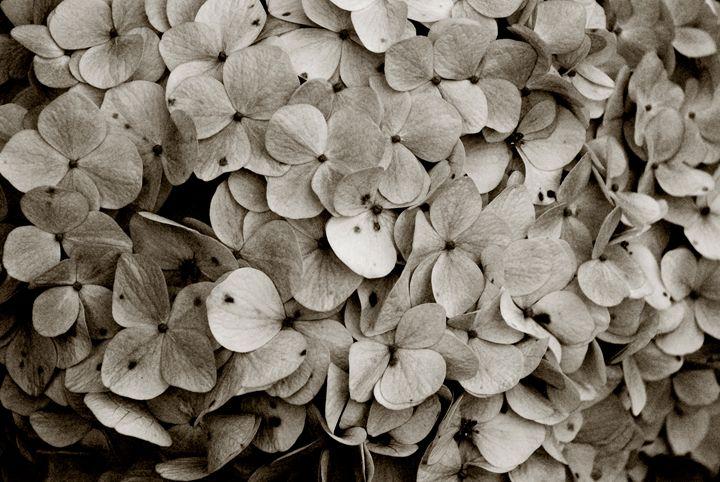 Hydrangea Macrophylla - easywind