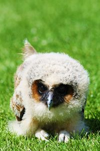 Baby Brown Wood Owl