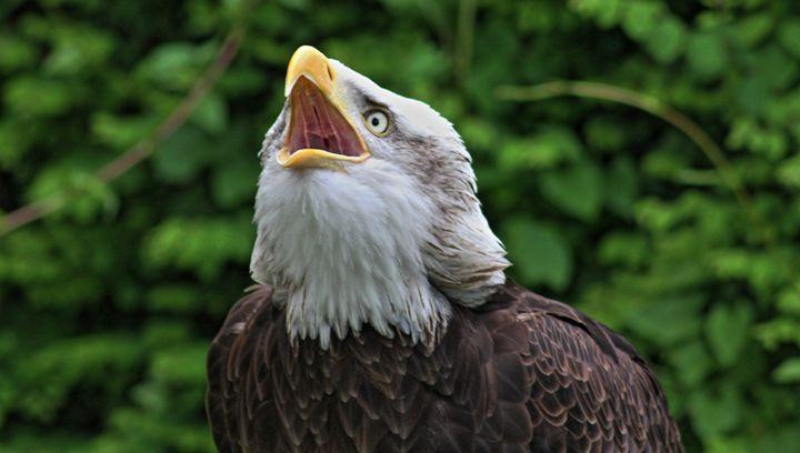 Alaskan Bald Eagle - Raptor Captures
