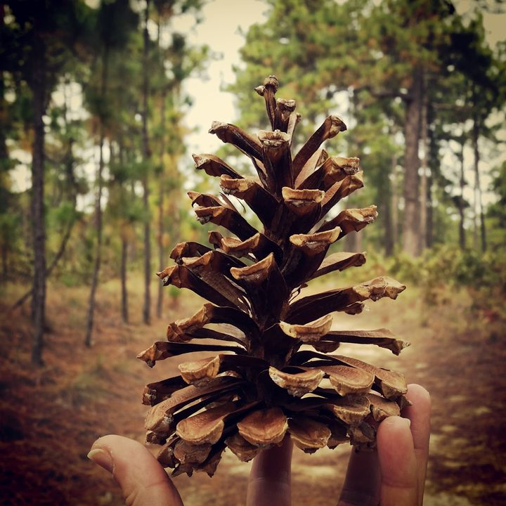 Pine Cone of the Pineal - Vita Vibrant