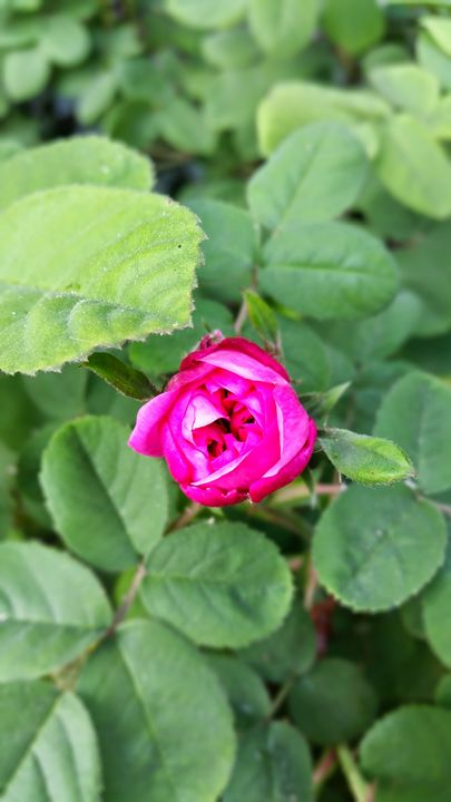 A Rose's Kiss - Vita Vibrant