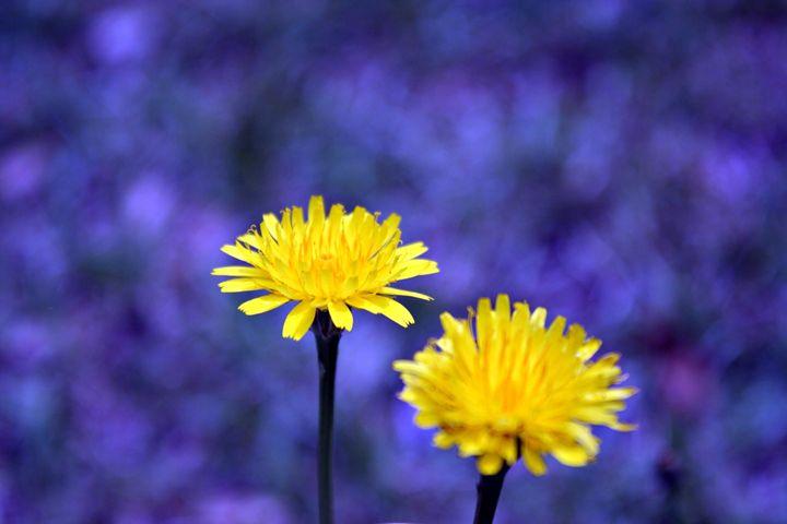 Yellow Dandy - Vita Vibrant