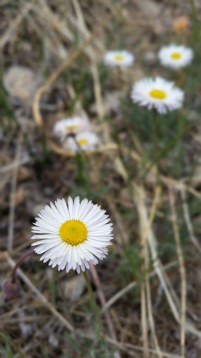 Daisy in Love - Vita Vibrant