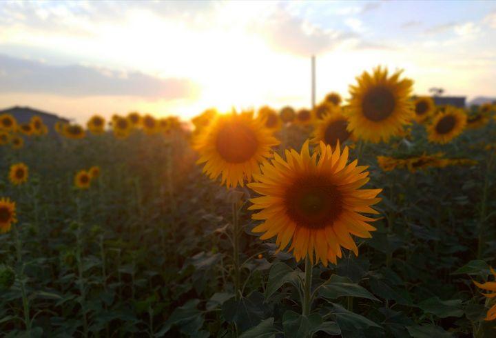 Sun-flower - Biplov Paudel