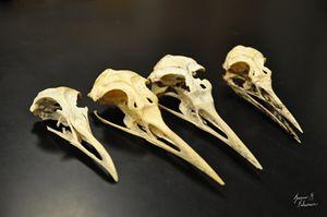 Avian Skulls - Jessica Fuhriman