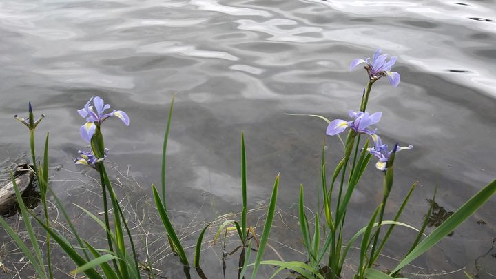 Irises By The Water - Black Cat
