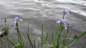 Irises By The Water