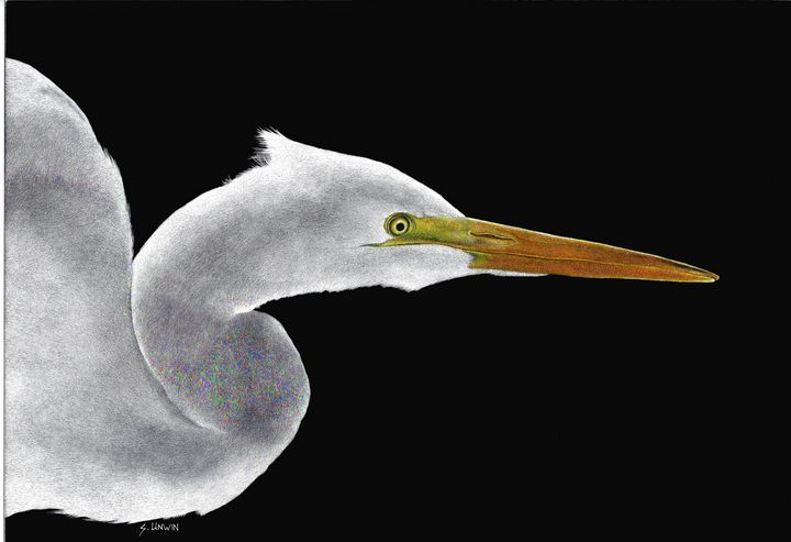 Great White Egret - Sheryl Unwin's Gallery