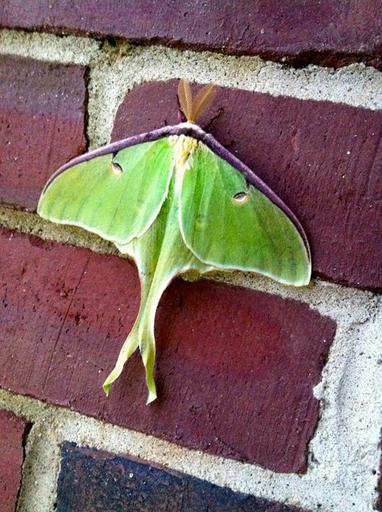Luna Moth - Lizzy Lombardo