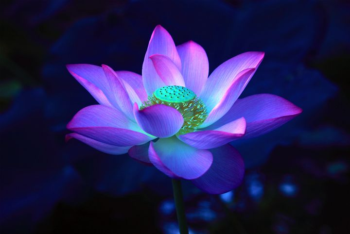 Lotus Flower - China Esthetics