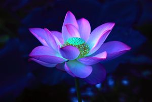 Lotus flower different perspective china esthetics photography lotus flower mightylinksfo
