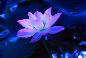 Lotus Flower, different Perspective