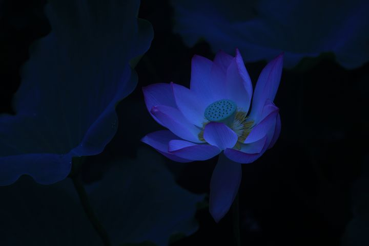 Evening Lotus - China Esthetics