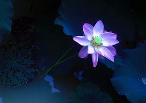 Pretty Lotus