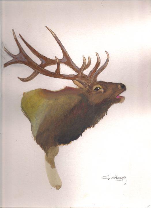 Bugling Elk - Colin Graham