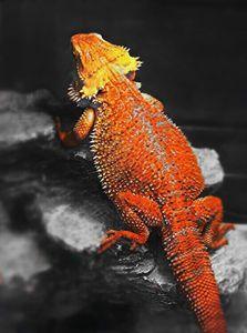 Breaded Dragon