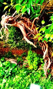 vine dragon(color)