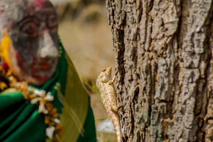 Oriental Garden Lizard - Krishna Prasad R