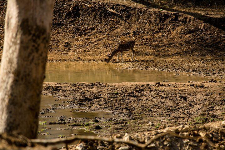 Spotted Deer - Krishna Prasad R