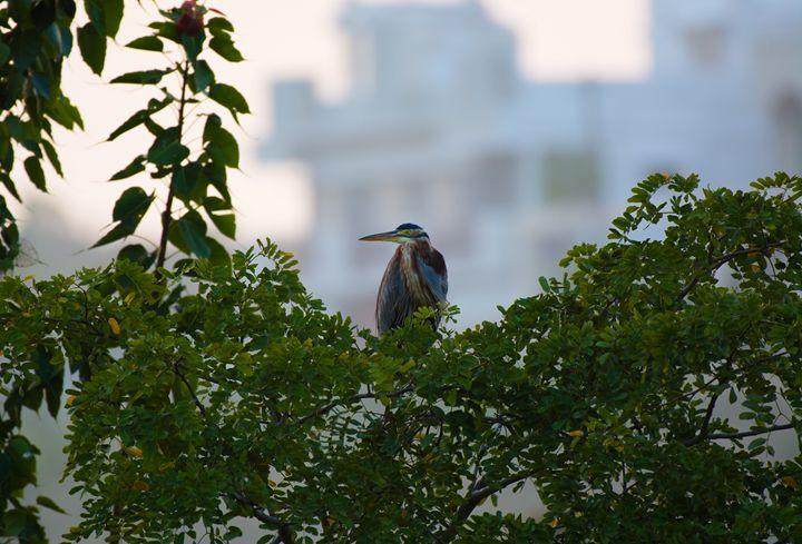 Purple Heron - Krishna Prasad R