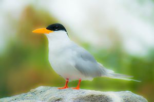 River Tern (Glowing)