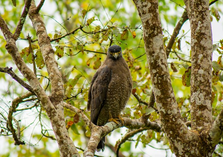 Crested Serpent Eagle - Krishna Prasad R
