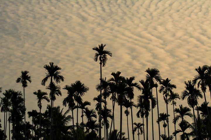 Palm Tree - Krishna Prasad R