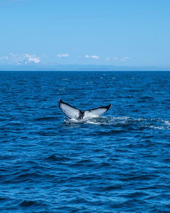 Humpback whale - Som za vodou