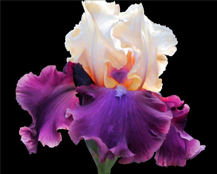 Purple & White Bearded Iris - Theresa A. Diehl Photography