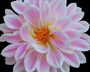 Pink Painted Gerber Daisy