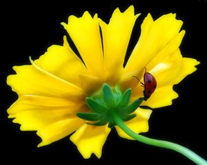 Lady Bug on Yellow Flower