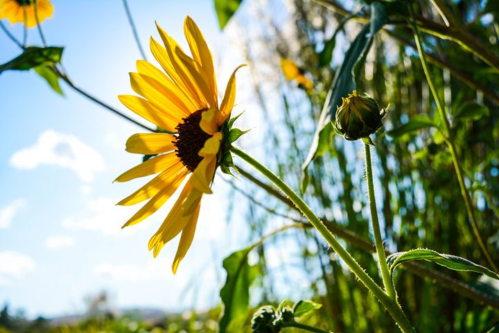 Summer's Sunflower - Sam Wood Photograph-@natures_perspective
