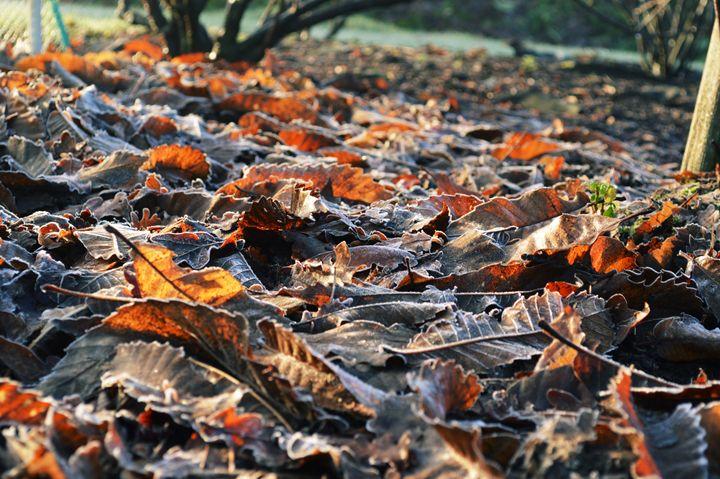 Frosty winter leaves - Phileas