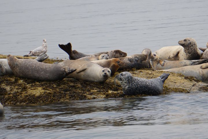 Curious Harbor Seals on the Rocks - Returns Your Gaze Art