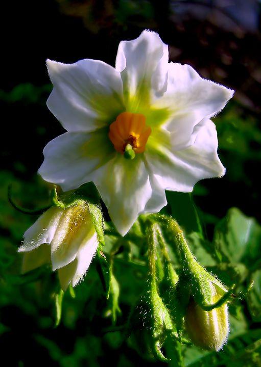 Potato bloom - Yury Yanin