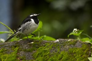 White brown wagtail