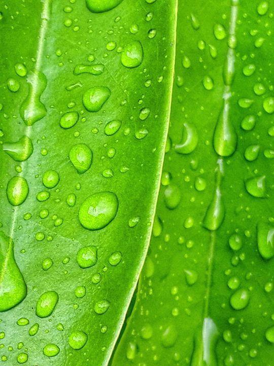 Rain on leaf - amrutha murthy