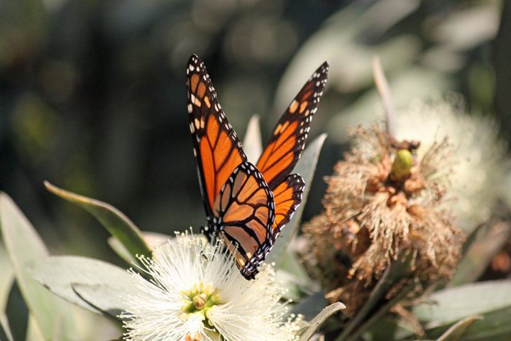 Monarch Butterfly - Azadiax's Photos